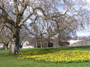 Daffodils in Phear Park