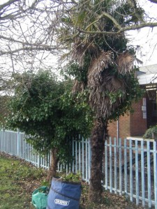 Trees released from ivy