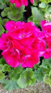 Geranium 'Fairy Berry'